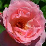 Распустившаяся розовая роза с живописной серединкой