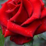 Красная роза в капельках дождя