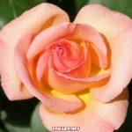 Роза в июне
