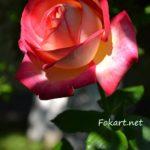Роза в полутени