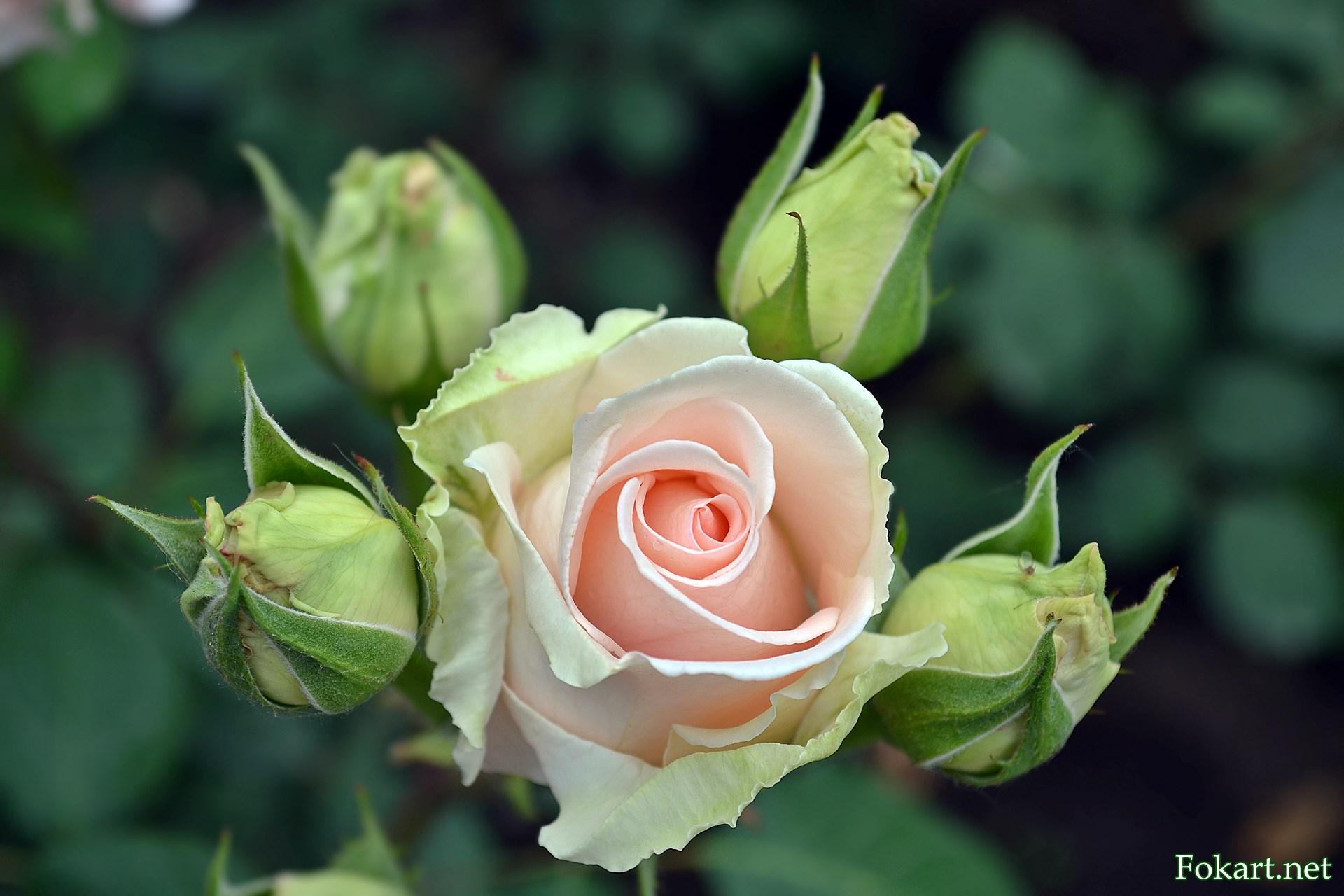 Светлая роза посреди четырёх бутонов.