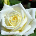Чайно-гибридная роза молочного цвета