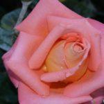 Светло-лососевая роза в капельках крупным планом