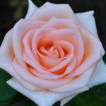 Роза, похожая на крем