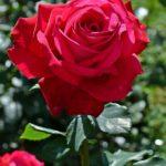 Тёмно-малиновая роза в капельках дождя
