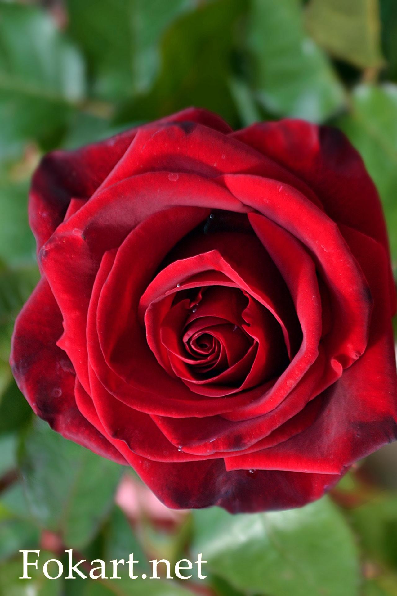 Роза цвета вишни, вертикальная картинка