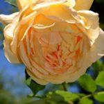 Желтовато-кремовый крупный цветок ароматной английской розы David Austin вблизи