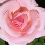 Красивая розовая роза крупным планом