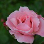 Розовая роза в начале цветения