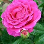 Розовая роза в каплях под майским дождём