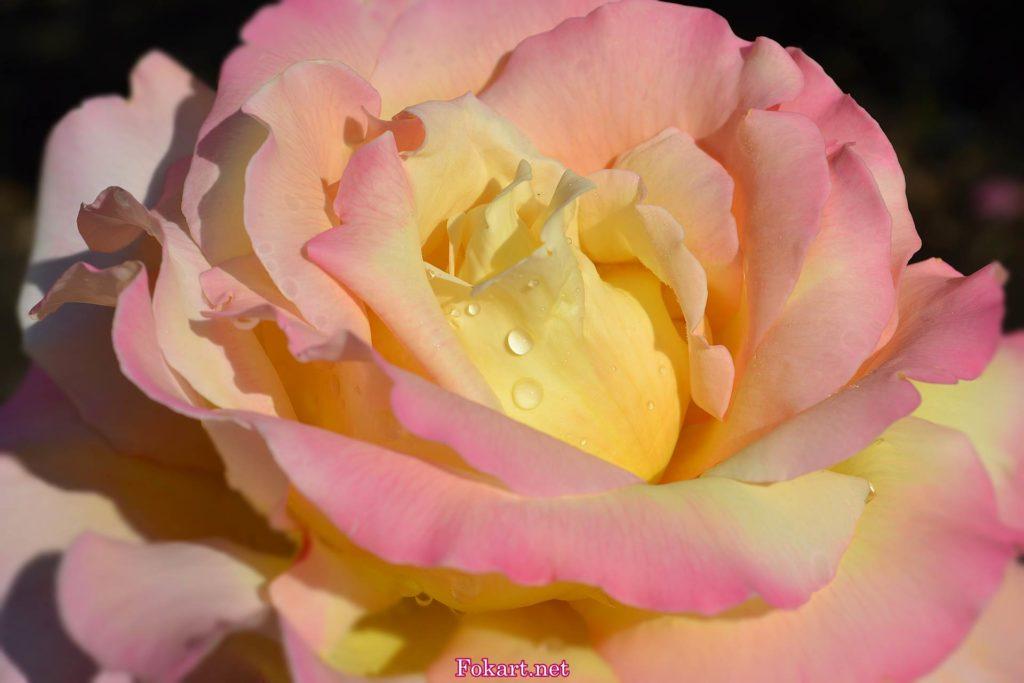 Розово-жёлтая роза в капельках