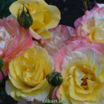 Розово-жёлтые розы