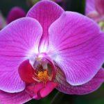 Сиреневый цветок орхидеи фаленопсис с тёмно-розовыми прожилками. Крупный план.