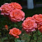 Розы персиковых оттенков