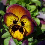 Рыжеватая виола, фото, Анютины глазки