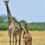 Самка жирафа с малышами