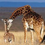 Самка жирафа с малышом