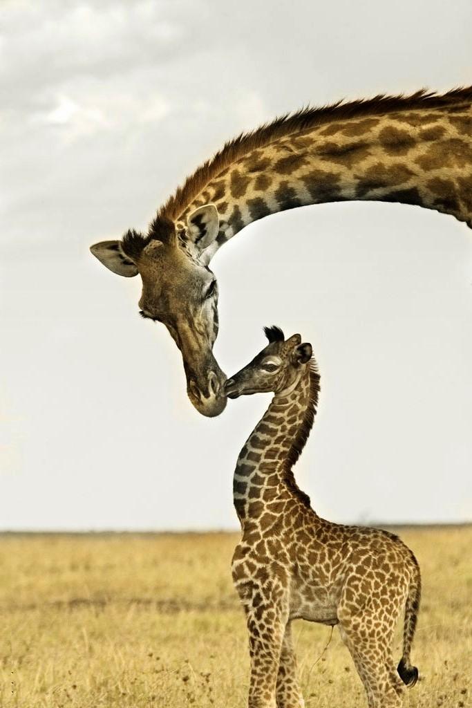 Самка жирафа с малышом, фото 2