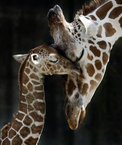 Самка жирафа с малышом, фото 3