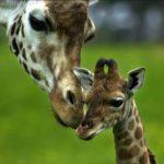 Самка жирафа с малышом, фото 4