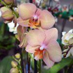 """Два светлых цветка орхидеи нежных оттенков бледно-жёлтого и светло-пурпурного с оранжевыми """"язычками"""""""