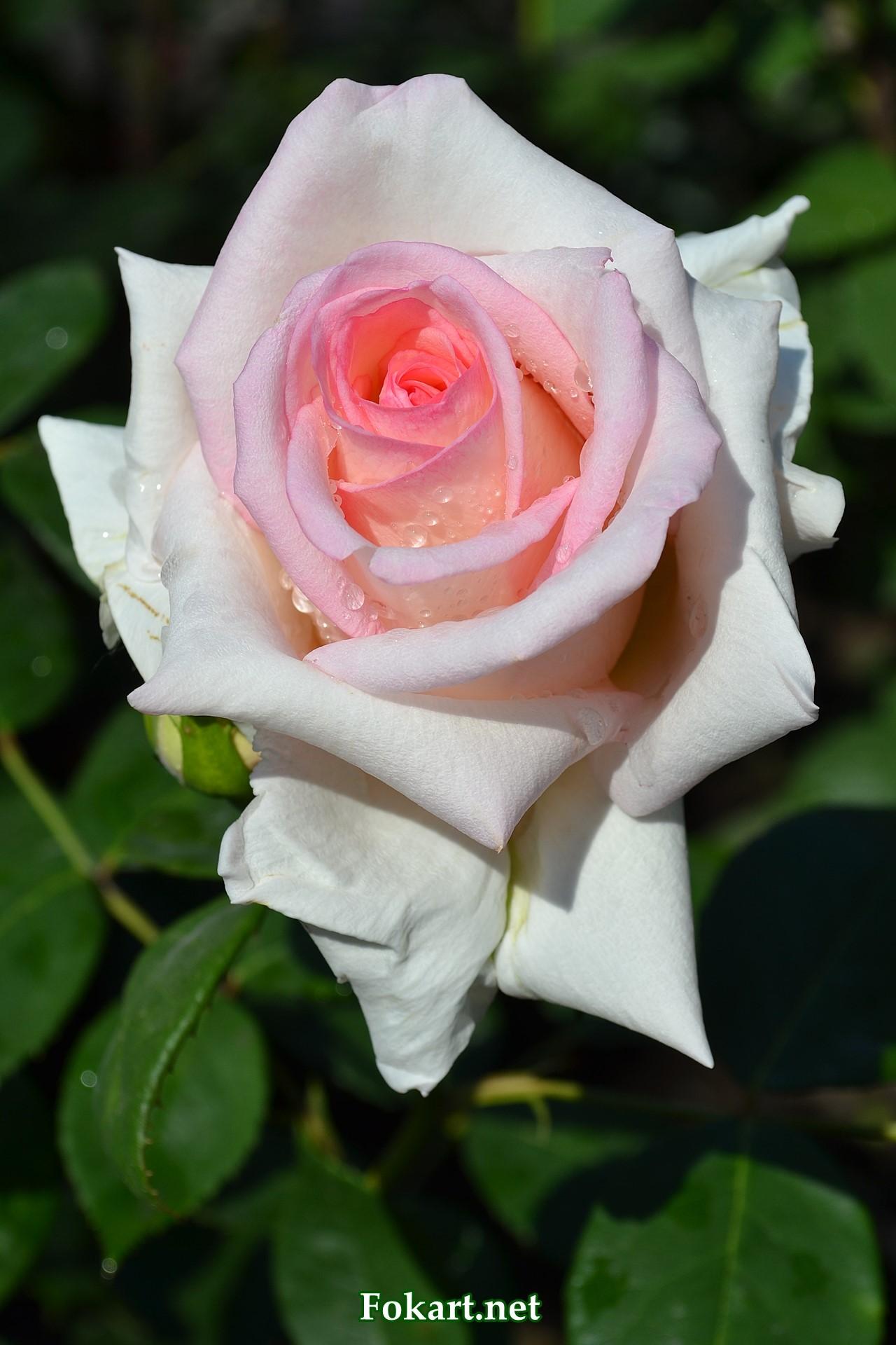 Светлая роза с капельками росы в лучах утреннего солнца