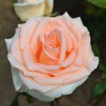 Светло-лососевая роза