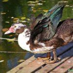 Селезень мускусной утки размахивает крыльями