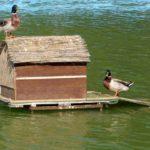 Два селезня кряквы у птичьего домика на пруду