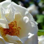 Серединка белой розы