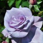 Сиреневая роза, только начавшая распускаться
