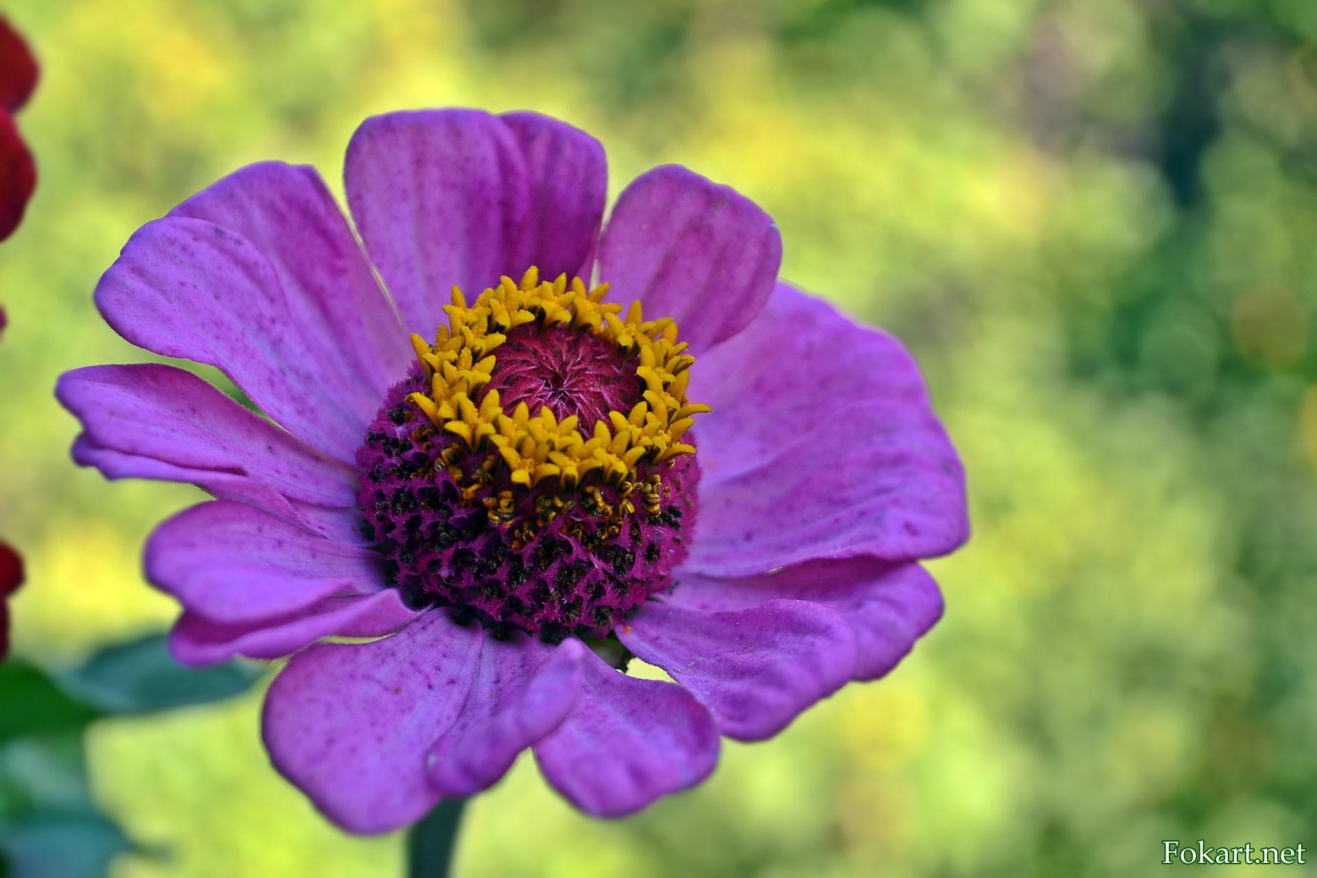 Сиреневый цветок циннии с жёлтым веночком и пурпурной серединкой