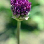 Сиреневые бутончики -соцветия дикого лука