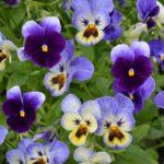Сиреневые и фиолетовые виолы