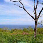 Старая сухая акация среди майской зелени на фоне моря
