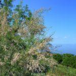 Цветущий тамарикс (гребенщик, бисерник) на зелёном склоне у моря в начале июня.