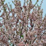 Цветущие ветки персика
