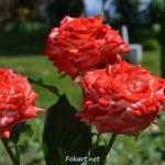 Три красно-белые розы на зелёном газоне