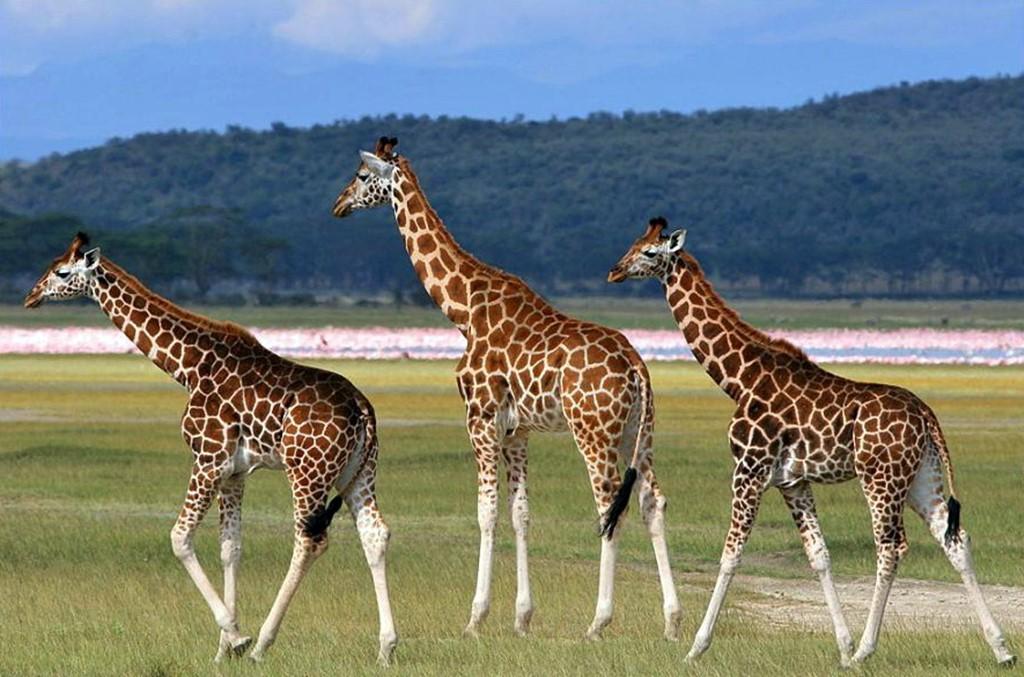 Три жирафа