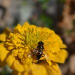 Трутень на жёлтом цветке циннии