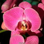 Тёмно-розовая орхидея, фото, цветок фаленопсиса