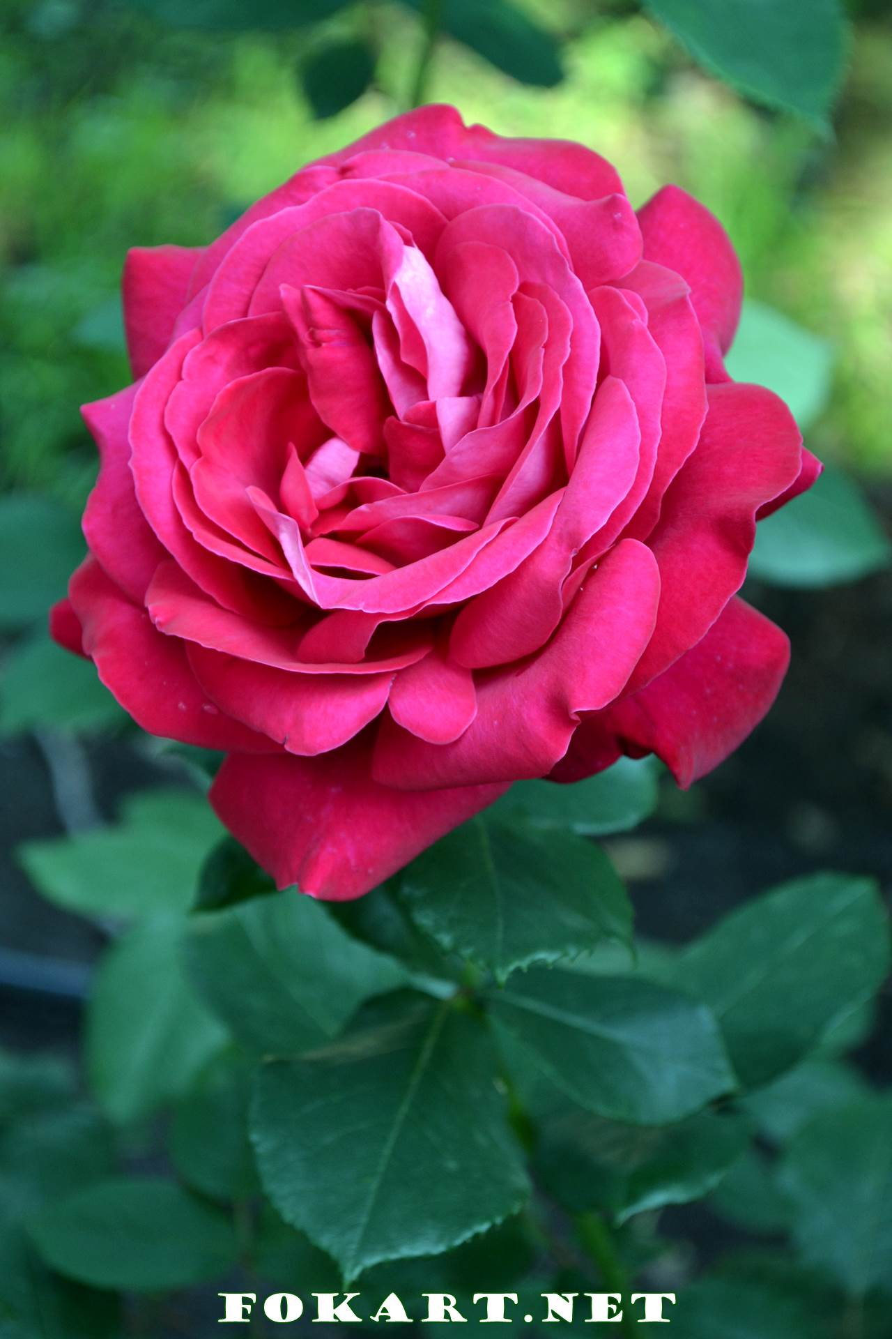Тёмно-розовая роза в саду