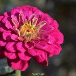 Тёмно-розовая цинния