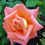 Красивая роза лососевого цвета с капельками