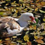 Мускусная утка на осенней воде пруда