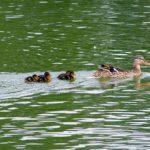 Мама-утка и плывущие за ней пятеро утят