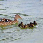 Утка кряква и плывущие рядом пятеро утят