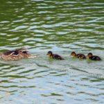 Утка плывёт с вереницей из пяти утят