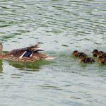 Мама-утка кряква и плывущие за ней маленькой стайкой утята