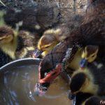 Утка и утята пьют воду